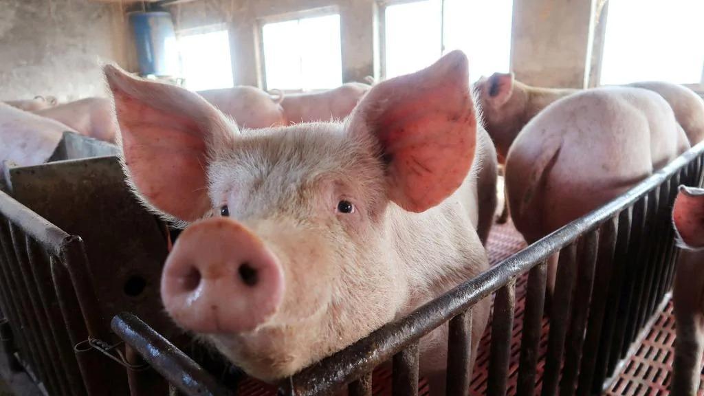 Новый штамм свиного гриппа
